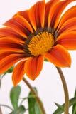 Macro de la flor del Gazania fotografía de archivo