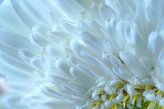 Macro de la flor del Gerbera Fotos de archivo