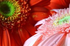 Macro de la flor del Gerbera Imagenes de archivo