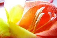 Macro de la flor del gladiolo Foto de archivo
