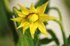 Macro de la flor del tomate con el fondo verde suave foto de archivo libre de regalías