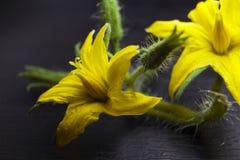 Macro de la flor del tomate con los detalles flor amarilla del tomate Imagen de archivo libre de regalías