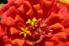 Macro de la flor del Zinnia Foto de archivo