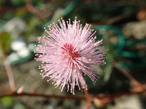 Macro de la flor de la mimosa Imagen de archivo