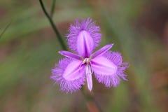 Macro de la flor púrpura del lirio de la franja   Imagenes de archivo