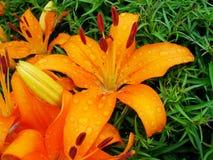 Macro de la flor roja, anaranjada con polen en la antera Imágenes de archivo libres de regalías