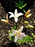 Macro de la flor roja blanca con polen en la antera Fotografía de archivo libre de regalías