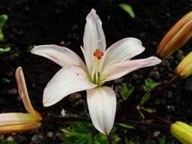 Macro de la flor roja blanca con polen en la antera Imagenes de archivo