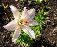 Macro de la flor roja blanca con polen en la antera Foto de archivo