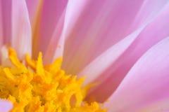 Macro de la flor rosada de la dalia Fotografía de archivo
