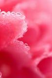 Macro de la flor rosada del clavel con las gotitas de agua Fotografía de archivo