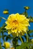 Macro de la floración de la dalia sobre fondo del cielo azul Fotos de archivo libres de regalías