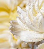 Macro de la floración del crisantemo Fotos de archivo libres de regalías