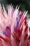 Macro de la floración de la bromelia Imagen de archivo