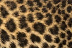 Macro de la fourrure d'un petit animal repéré de léopard - pardus de Panthera photo libre de droits
