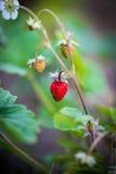 Macro de la fresa salvaje Imagen de archivo
