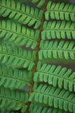 Macro de la fronda del helecho Imagen de archivo