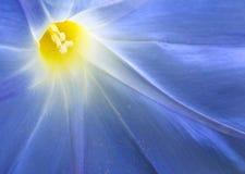 Macro de la gloria de mañana (Ipomoea tricolor) Imagenes de archivo