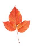 Macro de la hoja del otoño Imagenes de archivo