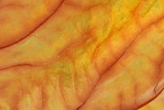 Macro de la hoja del otoño. Imagen de archivo libre de regalías