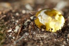 Macro de la hormiga fotografía de archivo libre de regalías