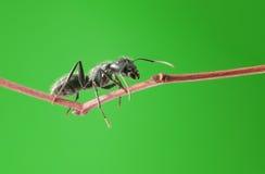 Macro de la hormiga en la ramita Imagen de archivo libre de regalías