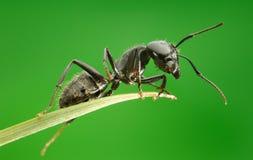 Macro de la hormiga que se sienta en el top de la hierba Imagen de archivo