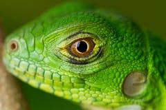 Macro de la iguana del bebé Fotografía de archivo