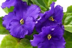 Macro de la inflorescencia del ionantha del Saintpaulia de la violeta africana en el fondo blanco Imágenes de archivo libres de regalías