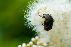 Macro de la inserción que alimenta en las flores blancas Foto de archivo libre de regalías
