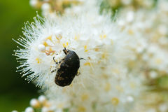 Macro de la inserción que alimenta en las flores blancas Foto de archivo