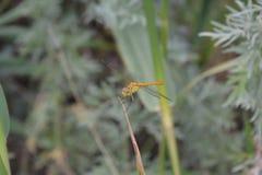 Macro de la libélula Fotografía de archivo libre de regalías