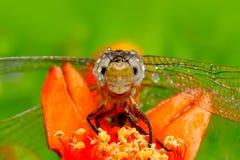 Macro de la libélula en naturaleza verde Fotos de archivo libres de regalías
