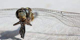 Macro de la libélula muerta Fotografía de archivo libre de regalías