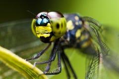 Macro de la libélula Imagen de archivo libre de regalías
