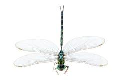 Macro de la libélula aislada Imagen de archivo