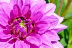 Macro de la lila de la dalia Imagen de archivo libre de regalías