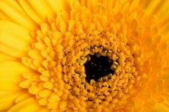 Macro de la margarita amarilla Fotografía de archivo