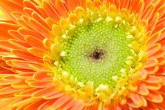 Macro de la margarita Imagen de archivo libre de regalías