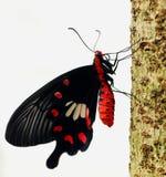 Macro de la mariposa Fotos de archivo