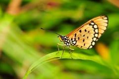 Macro de la mariposa Imagen de archivo