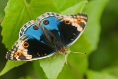 Macro de la mariposa Fotografía de archivo