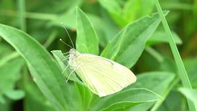 Macro de la mariposa blanca en hierba almacen de video