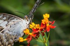 Macro de la mariposa de las podadoras Imágenes de archivo libres de regalías
