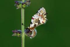 Macro de la mariposa en naturaleza verde Imagenes de archivo
