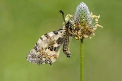 Macro de la mariposa en naturaleza verde Fotografía de archivo libre de regalías