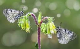 Macro de la mariposa en naturaleza verde Fotos de archivo