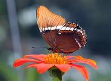 Macro de la mariposa en una flor fotografía de archivo libre de regalías