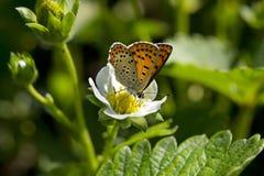 Macro de la mariposa en una flor de la fresa Fotos de archivo
