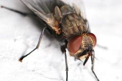Macro de la mosca Fotos de archivo